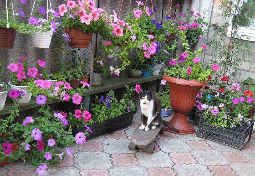коты и цветы Petunii-2.xxl