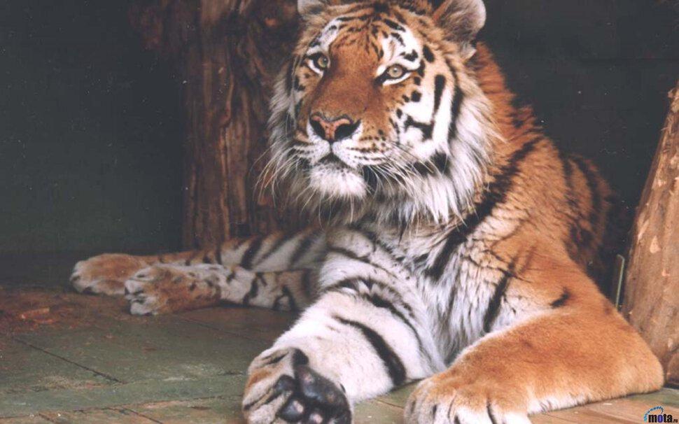 Секс двух тигров