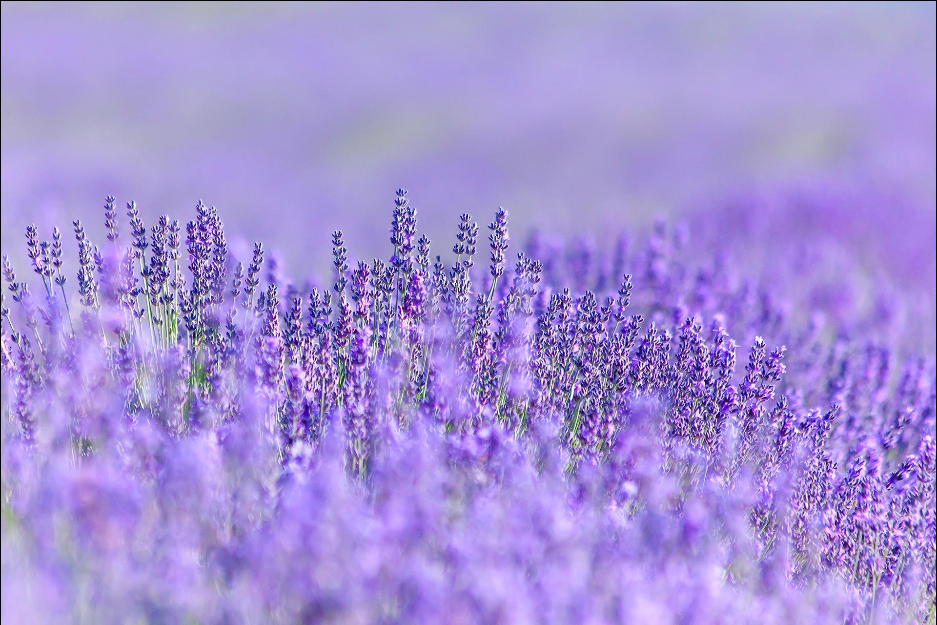 lavender background color - HD1920×1280