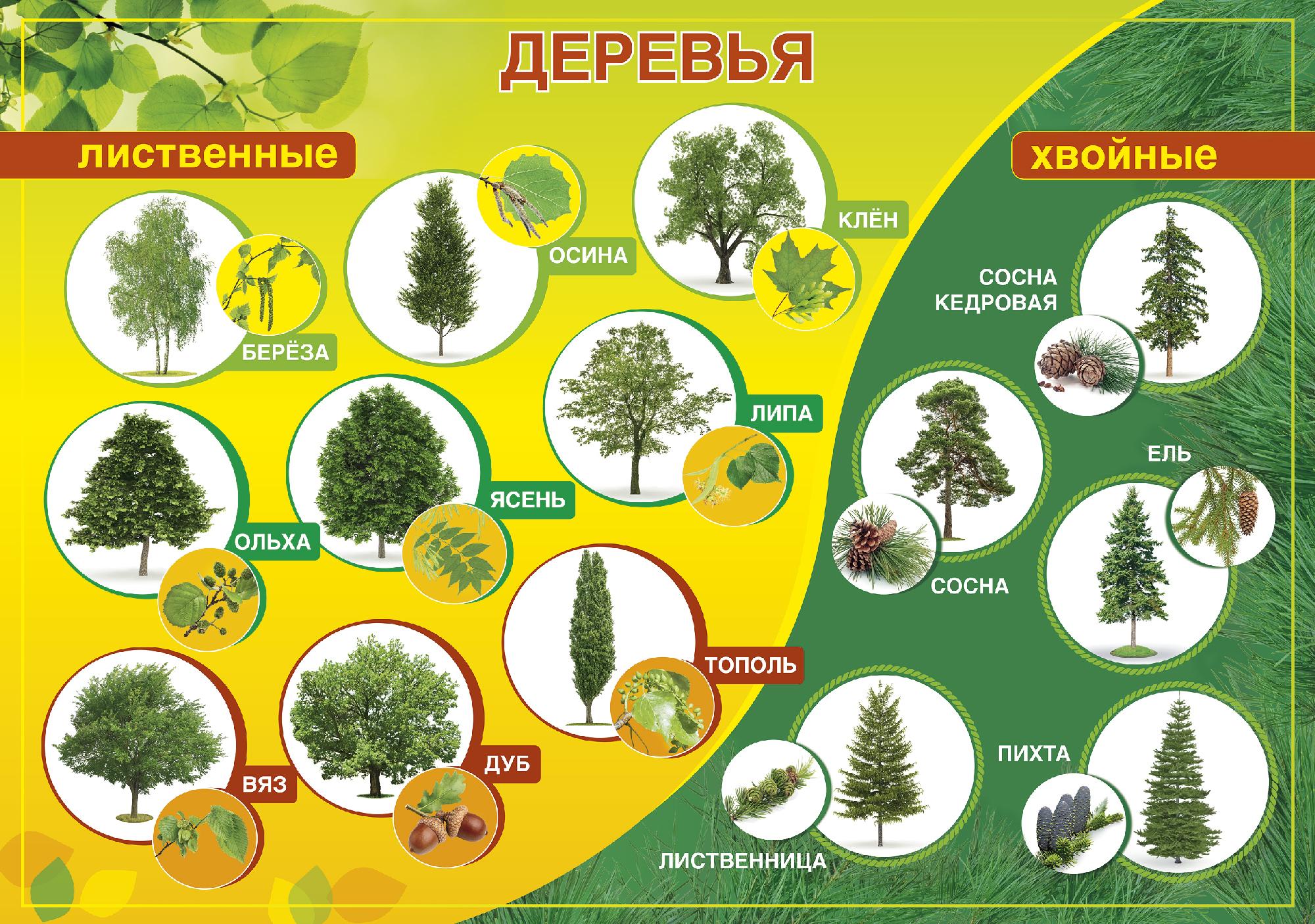 Виды хвойных деревьев картинки с названиями