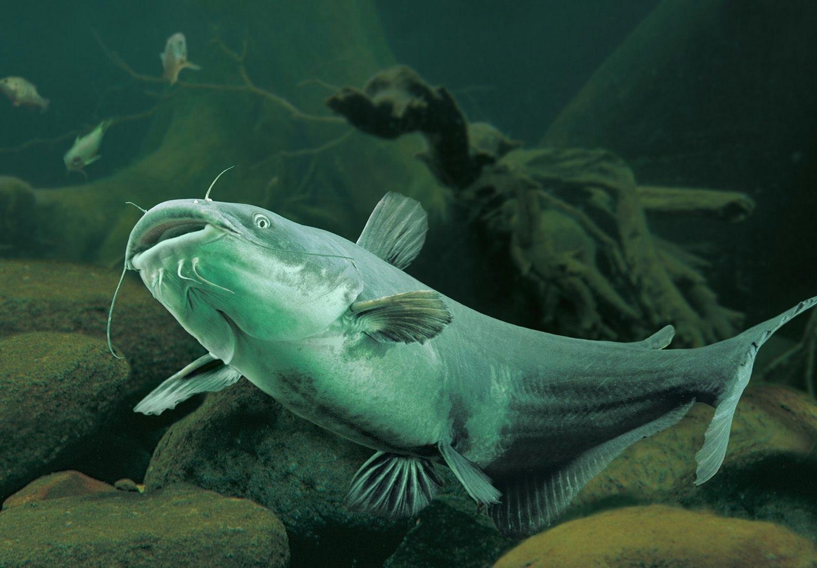 картинки рыбок сомов приготовить вкуснейшие отбивные