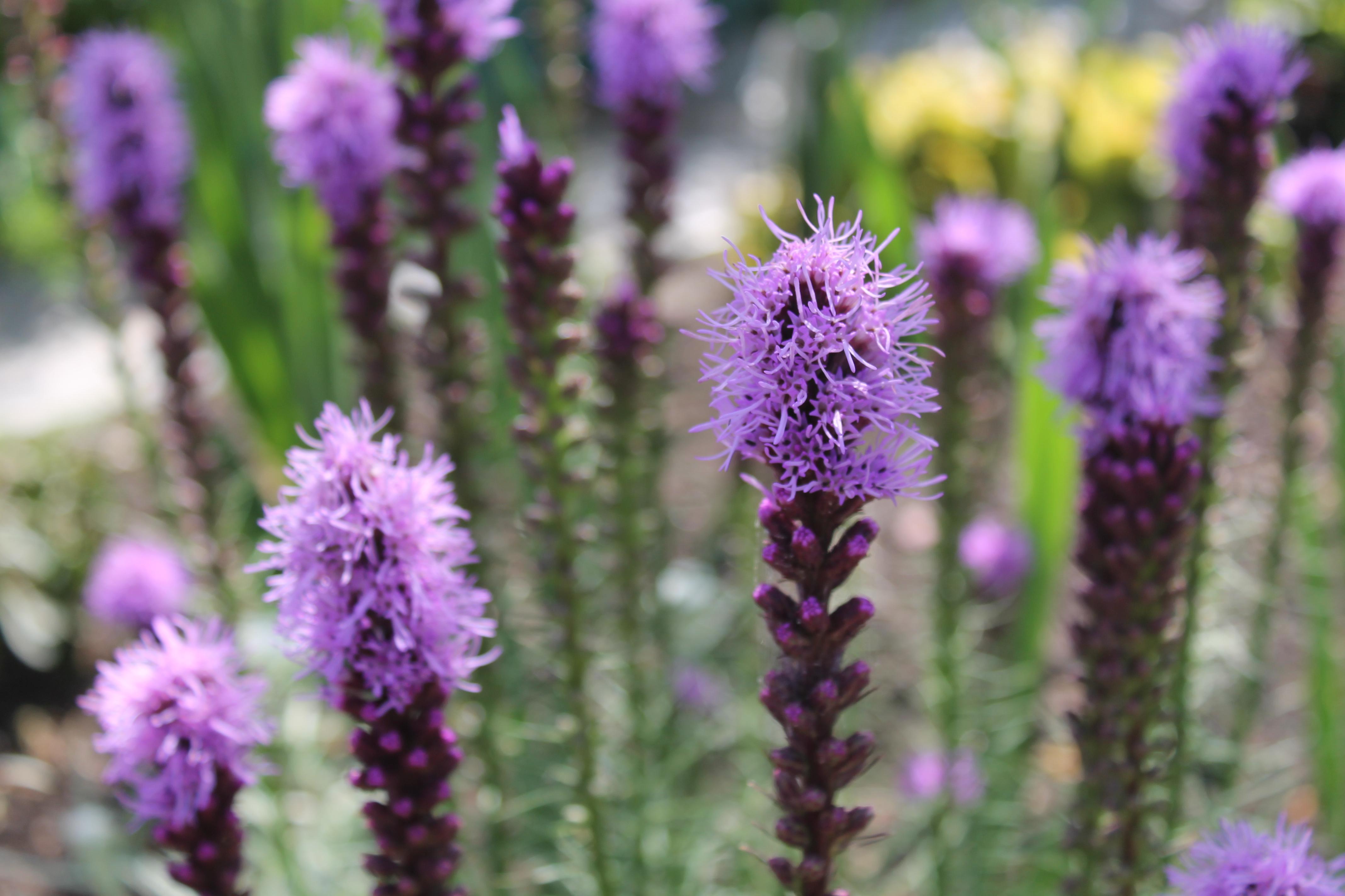 Цветок лиатрис выращивание фото или картинки