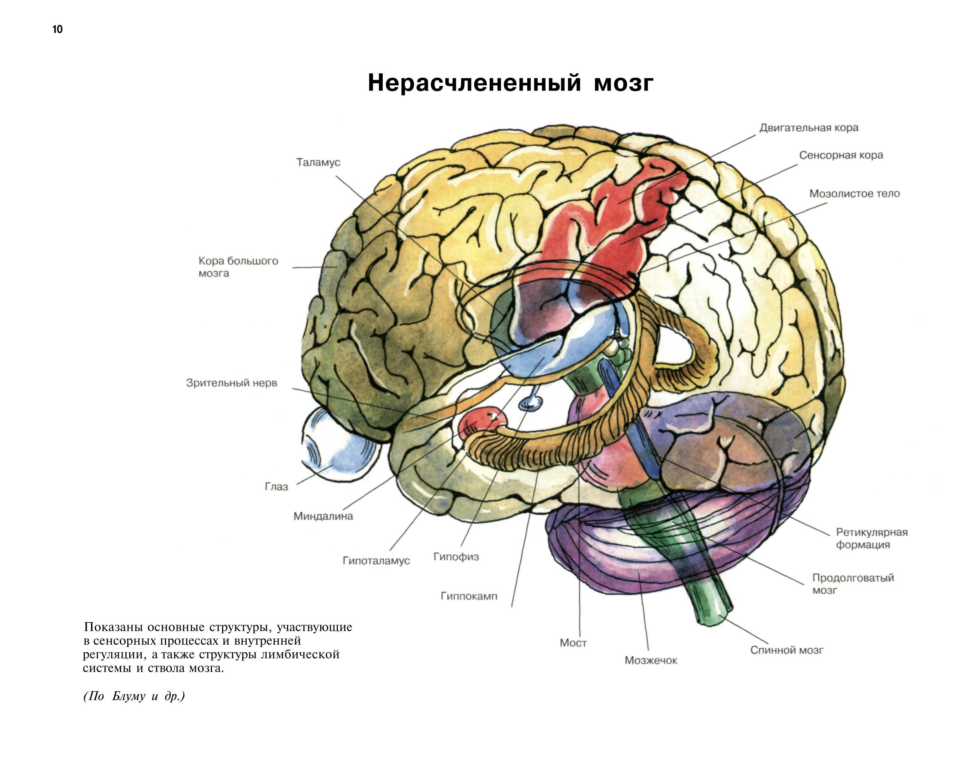 Устройство мозга человека картинка