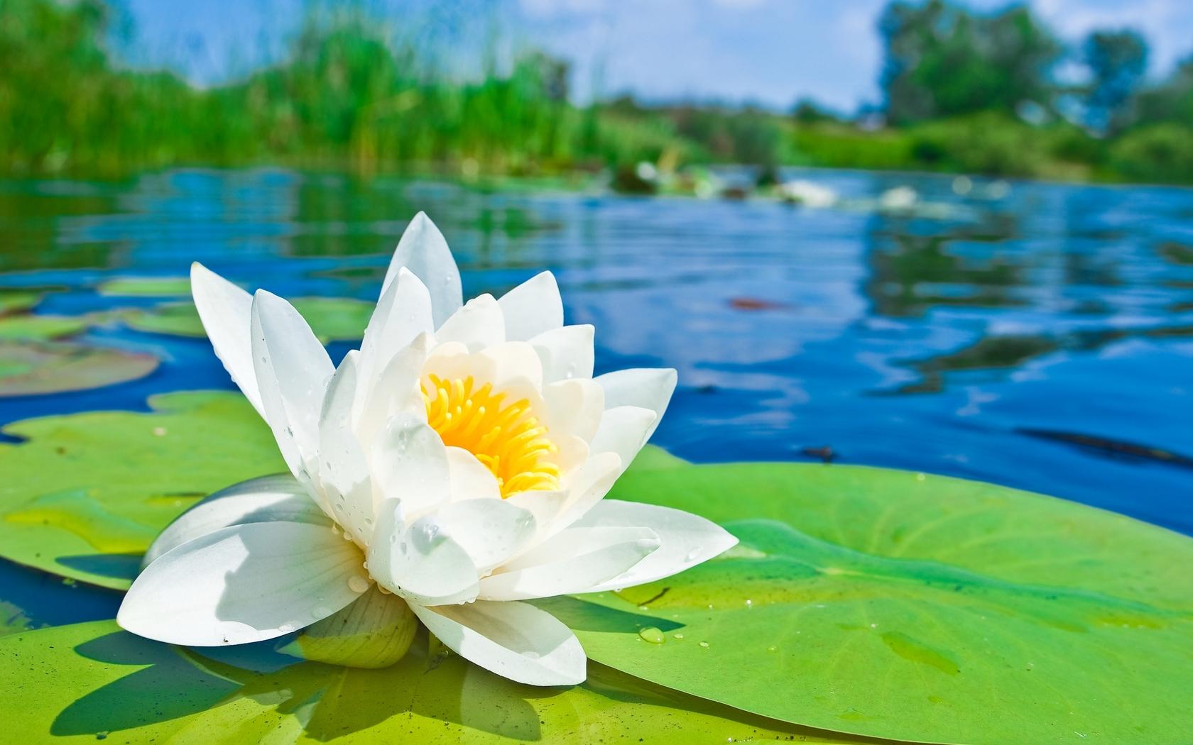 Цветок кувшинка картинка
