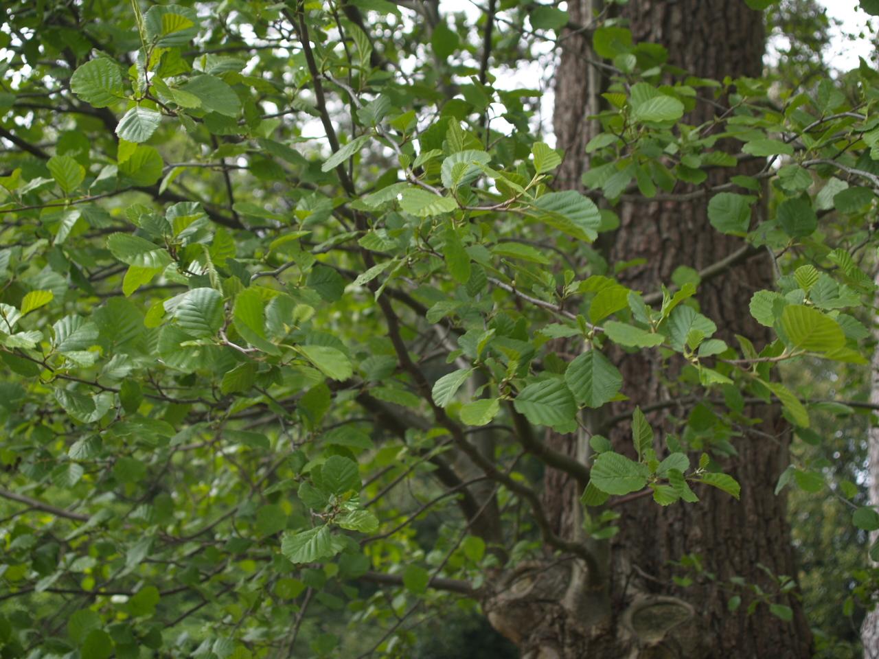 Деревья подмосковья фото и описание предпочитает неспешное