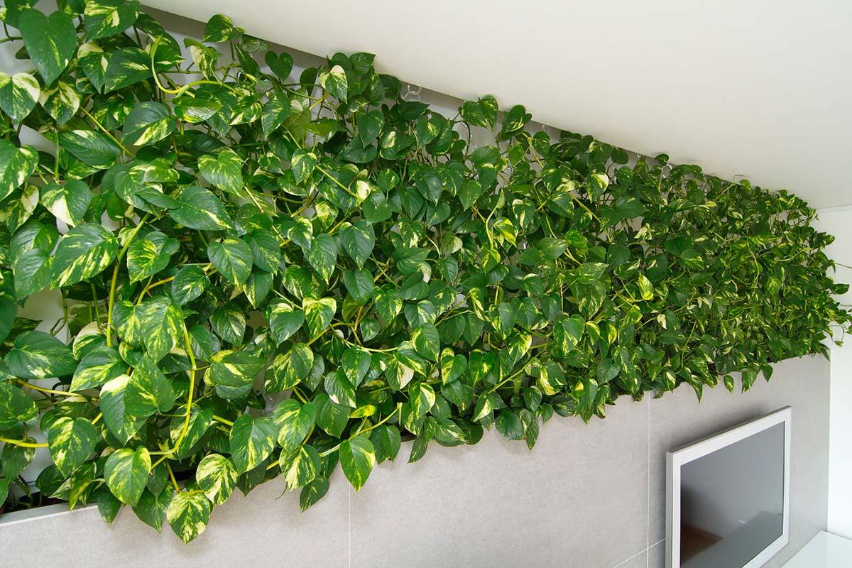 плетущиеся комнатные растения фото с названиями