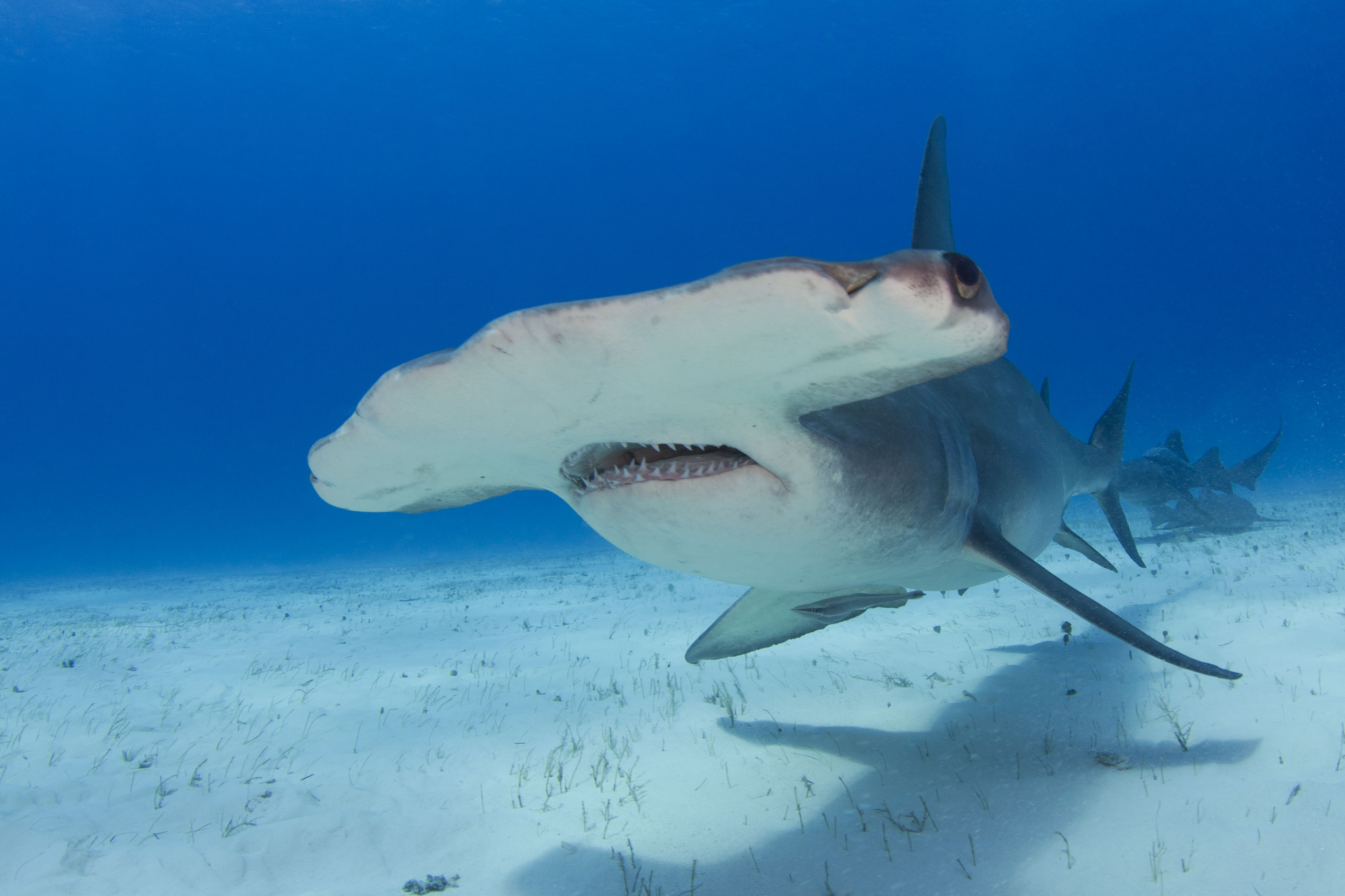 great hammerhead shark pictures - HD3841×2560