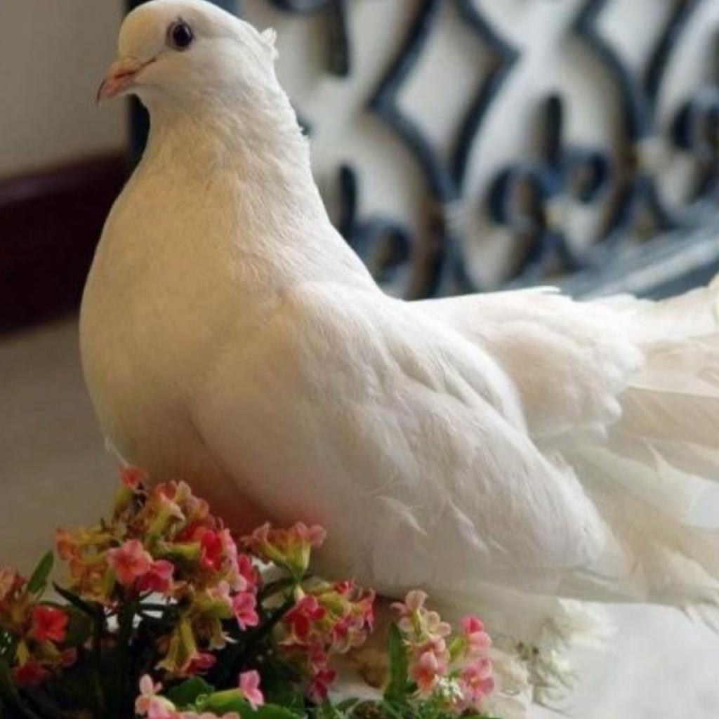 Картинки красивые голуби мира