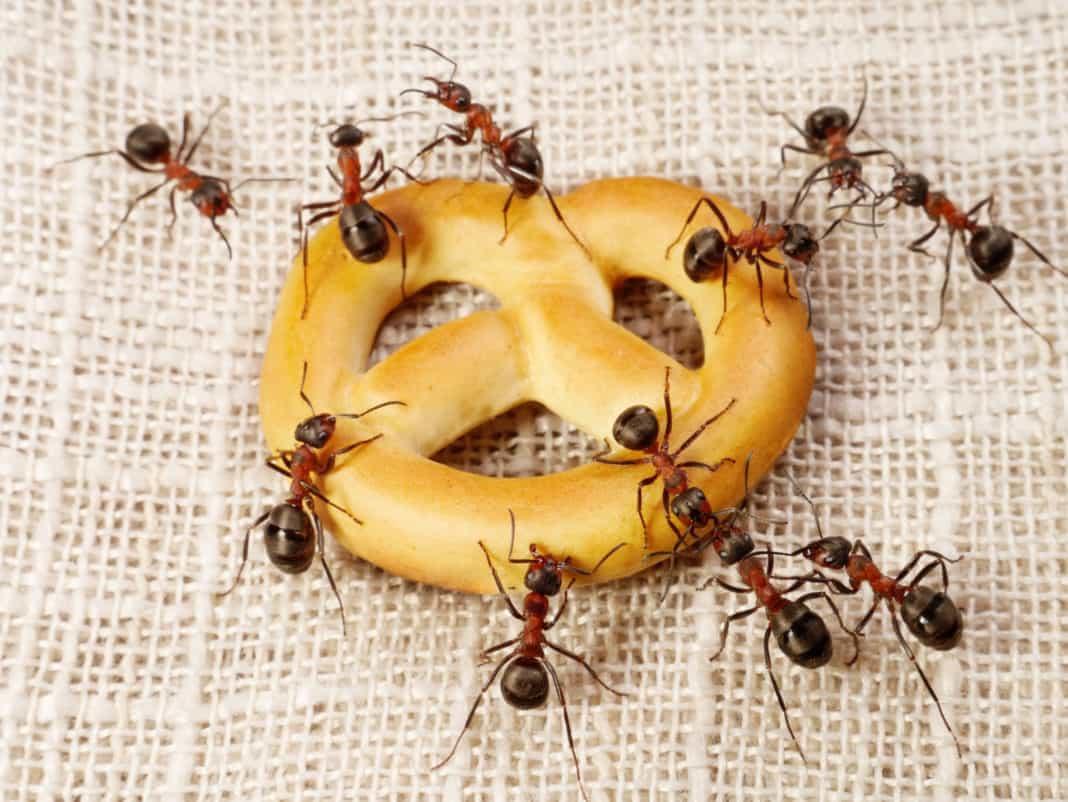 Почему муравьи лезут в дом примета. Приметы к чему в квартире появляются муравьи