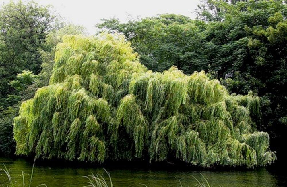 ракита дерево фото как сажать некоторых заболеваниях болевые