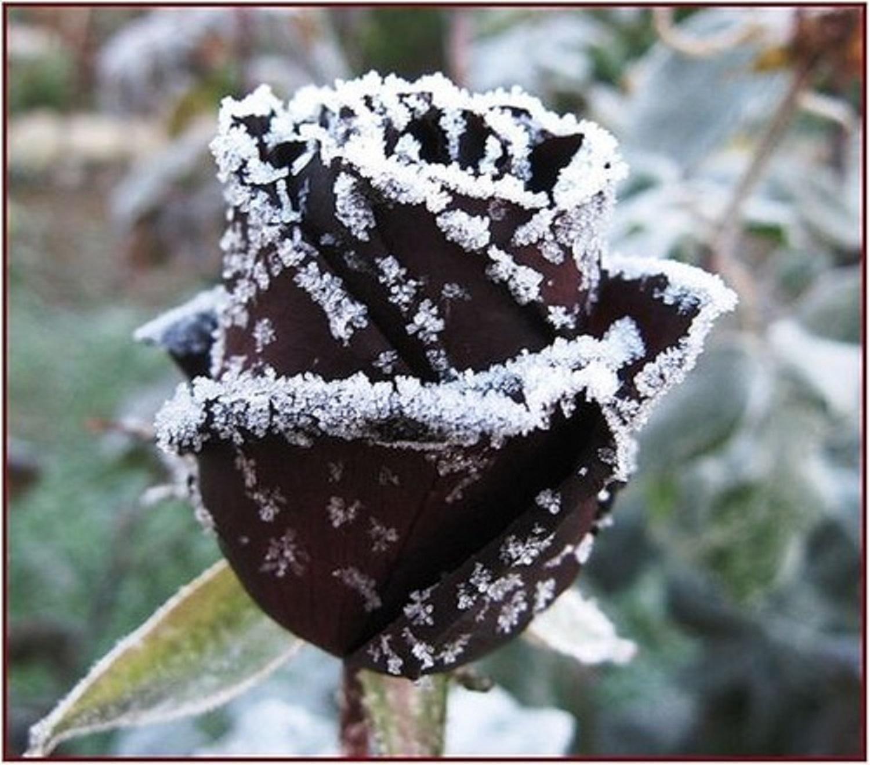 Картинки розы черные на снегу