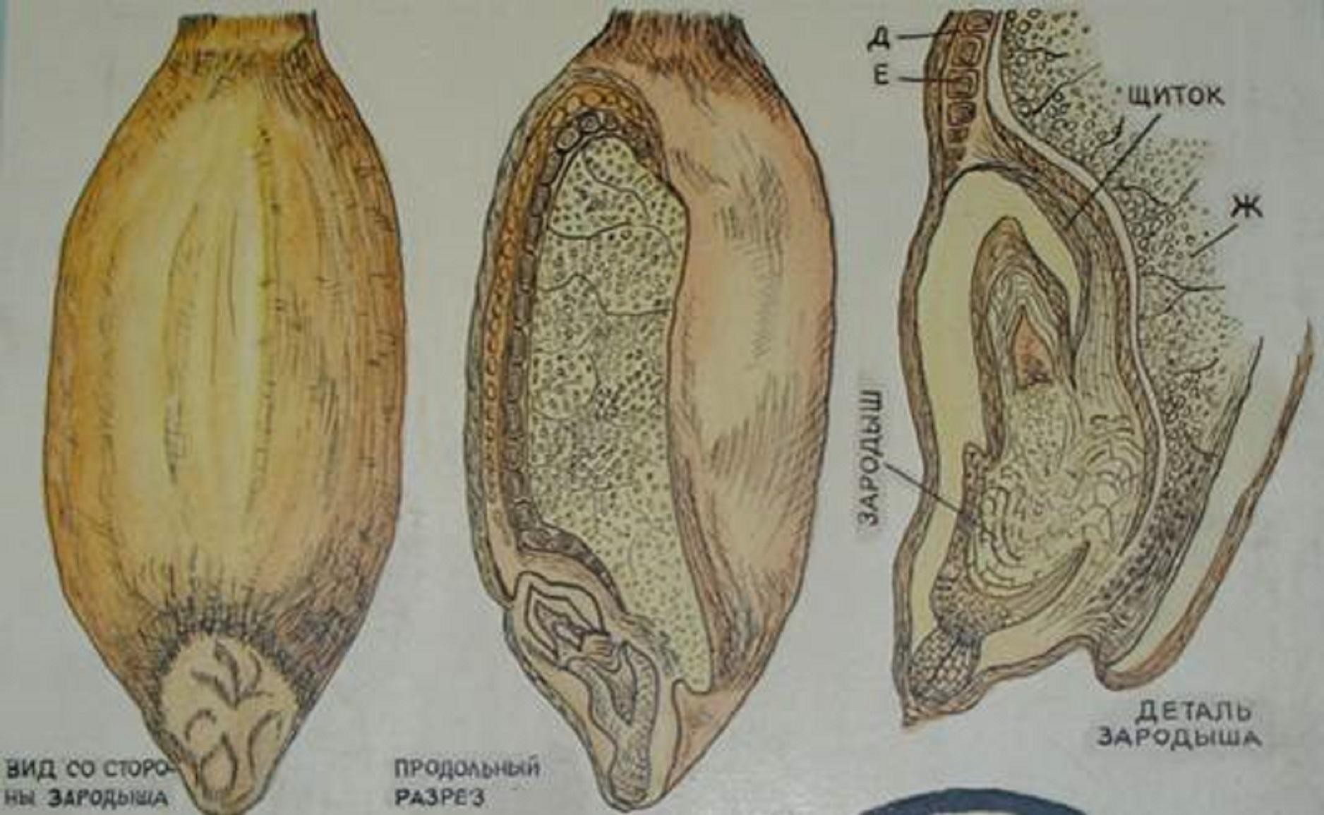 Картинки пшеницы в разрезе